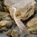 Great Blue Heron entangled
