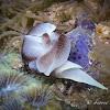 Lovely Headshield Slug