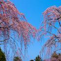 Japan:weeping cherry :Chokoji icon