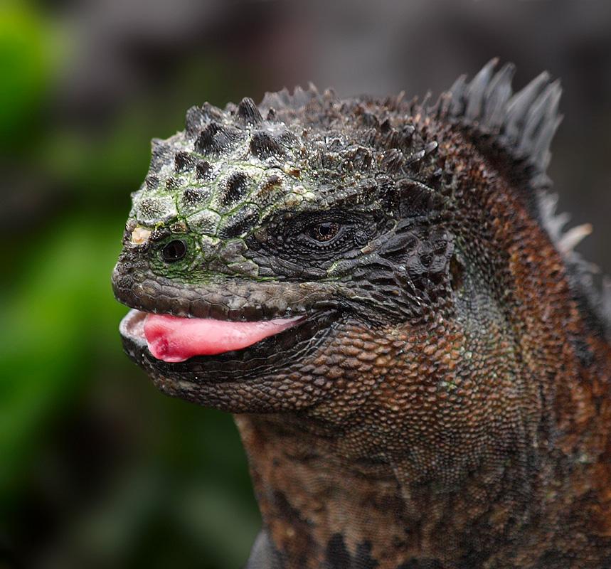 Iguana marina (Marine iguana)