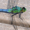 Eastern Pondhawk dragonfly (young adult male, turning blue)