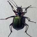 Caterpillar Hunter Beetle aka Fiery Searcher