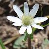 Ten-petaled Anemone