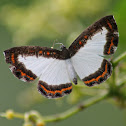Nymphidium Metalmark