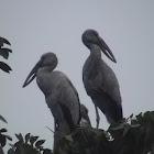 Asian Open-bill Stork