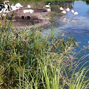 American White Flamingo