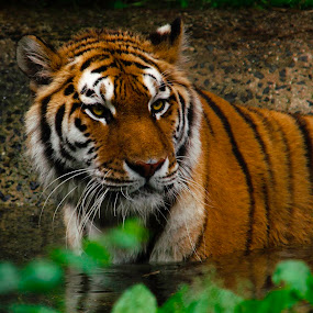 by Gayle M McDermott - Animals Lions, Tigers & Big Cats (  )