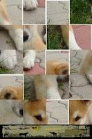 Screenshot of Dog Puzzle: Akita