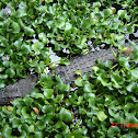 Philippine freshwater crocodile