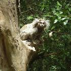 Sagui de tufos brancos (Whites tufts marmosets)