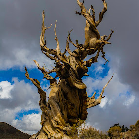 Ancient Bristle Cone Pine by Patrick Flood - Nature Up Close Trees & Bushes ( highway 395, canon, eastern sierras, bristle cone pine, old, twisted, photosbyflood, tree, white mountains )