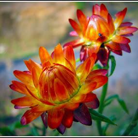 by Manabendra Ghosh - Flowers Flower Arangements ( canon, bright, close up, kumaon, flower )