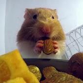 Hamster Eats Live wallpaper