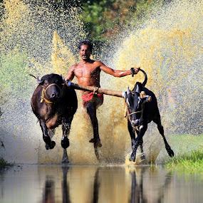 Cattle race by Varun Gopinath - People Street & Candids ( cattle race,  )