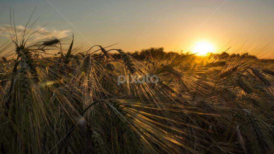 Barley Field by Tudor Migia - Landscapes Prairies, Meadows & Fields ( field, barley, sunset, crop, sun )