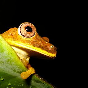 Vigia noturno by Mauro César Louzada - Animals Amphibians ( Lighting, moods, mood lighting )