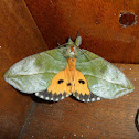Fruit piercing Moth ♂