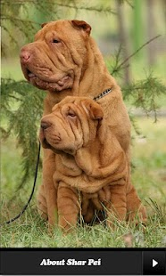 Shar pei. - screenshot thumbnail
