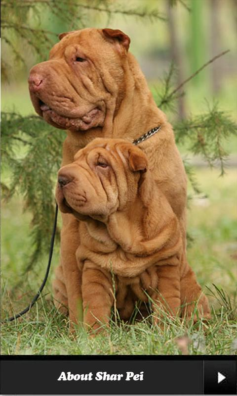 Shar pei. - screenshot