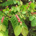 Medicinal Breynia