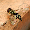 Hover Fly, Flower Fly