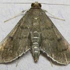 Eggplant Webworm Moth