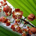 Wallis' Neomoorea Orchid