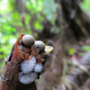 Wolf's Milk and unidentified slime mould