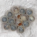 Wasp paratisize stinkbug eggs