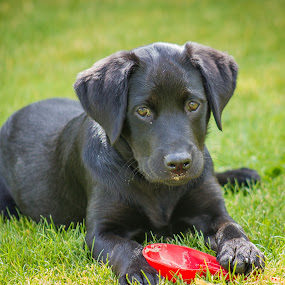 Labrador pup by Steve Trigger - Animals - Dogs Puppies (  )