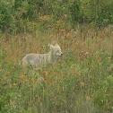 Mountain Coyote