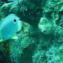 Four-Eye Butterflyfish