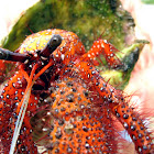 Red Hairy or White Spotted Hermit Crab