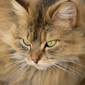 Charlotte  by Sue Bensted - Animals - Cats Portraits (  )