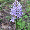 Irish spotted  orchid