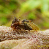 Membracid Treehopper