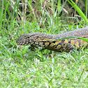 Nile Monitor (water leguaan)