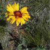 Brown-eyed Susan - Gaillardia aristata -