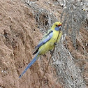 Blue-Cheeked Yellow Rosella