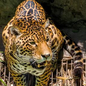 A jaguar by Maritere Izaguirre - Animals Lions, Tigers & Big Cats ( big cats, animals, tigers, jaguars,  )