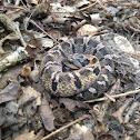 Eastern hog-nose snake