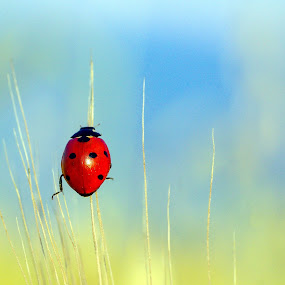 Ladybug IV by Zoran Rudec - Animals Insects & Spiders