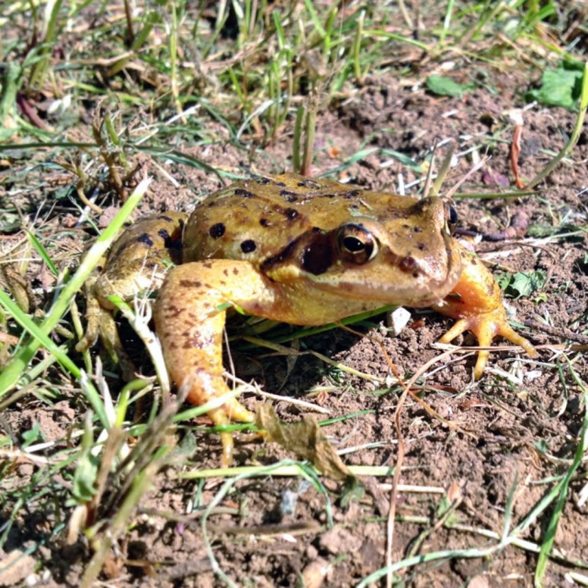 Grasfrosch or European Common Frog