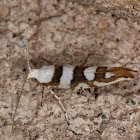 Bronze Alder Moth