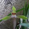 Jiji Baba Ran - Grandad & Grandma Orchid, Shin-ran - Spring Orchid