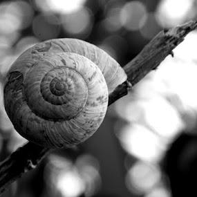 Snail by Nevenka Zajc Medica - Black & White Macro