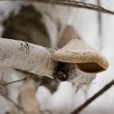 Birch conk