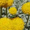 Escarabajo Chrysanthia viridissima