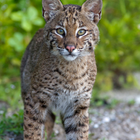 Young Florida Bobcat by Scott Helfrich - Animals - Cats Kittens ( scotthelfrichphotography, cat, #bobcat, nature wild wildlife florida scotthelfrich naturephotography wil, nature, florida, wildlife, cute,  )