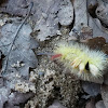 Caterpillar of the Pale Tussock Moth